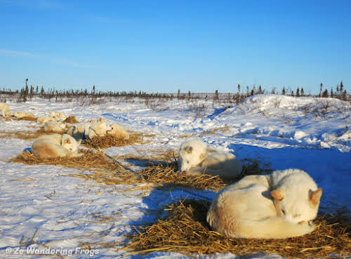 Arctic Canada Inuvik Winter Camping Tundra Dog Sledding // Our dogs ready for the night