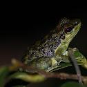 Palawan Rock Frog