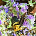 Large Carpenter bee (male)