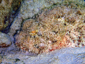 Photo: A few highlights: Stonefish, common but cryptic. (Beware!)