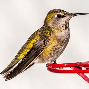 Hummingbird 10 03 18.jpg