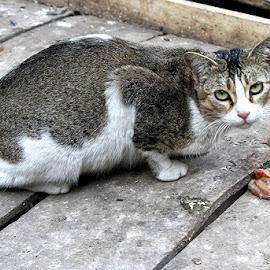 by Bob Khan - Animals - Cats Portraits (  )