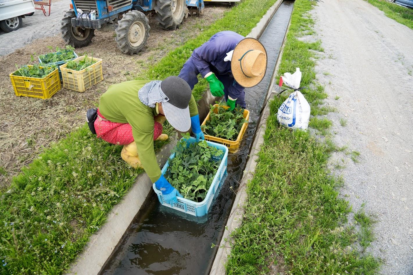 用水路で苗にたっぷりと水を含ませます