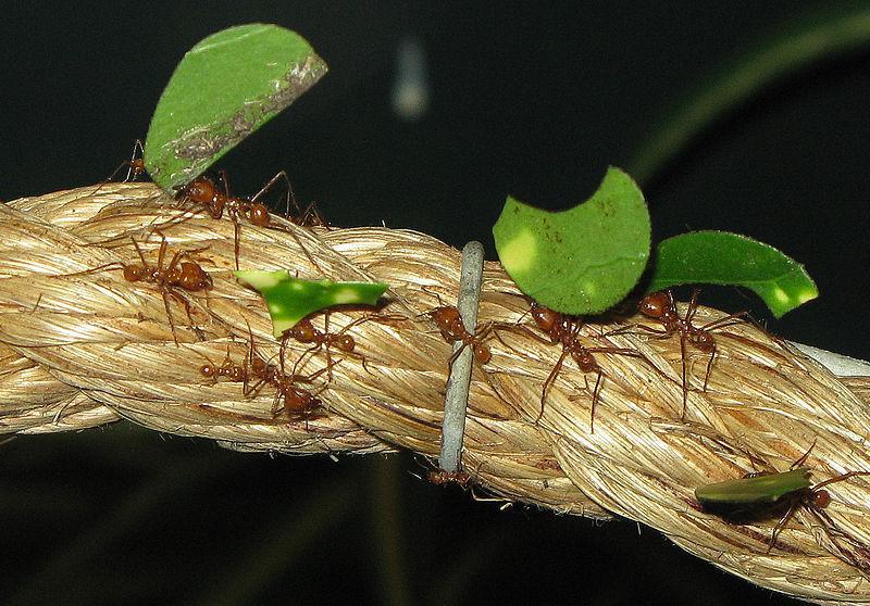 File:Leaf cutter ants arp.jpg