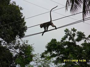 Photo: Frei lebende Affen laufen hier über die Stromleitung an der Klongkha Road in Krabi Town