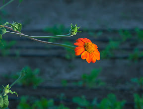 Photo: Early Morning Stretch - At The Farm of South Mountain this orange flower stretches out brilliantly to quest for sunlight.  An archive photo from 8 years ago, Phoenix, Arizona.
