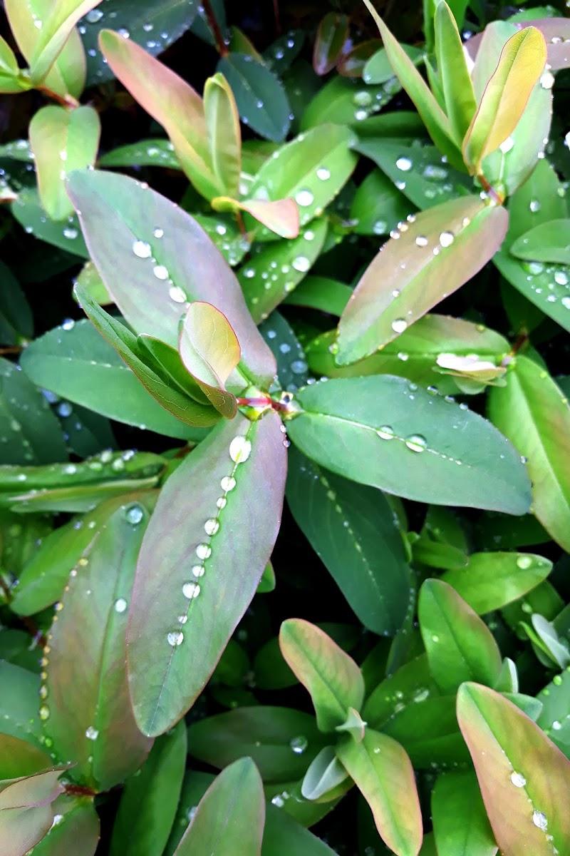 Pioggia sulla siepe di Burghy