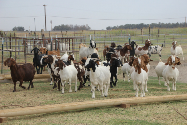 female boer goats in pen