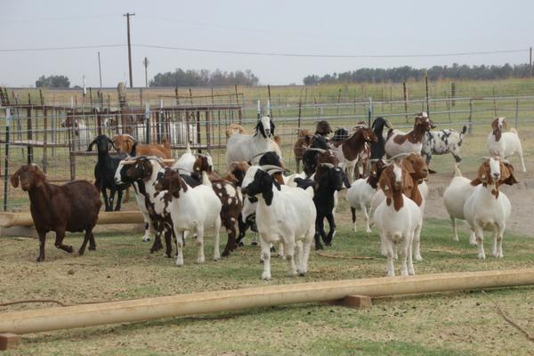 female boer goats in pen