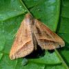 The Sugarcane Looper Moth