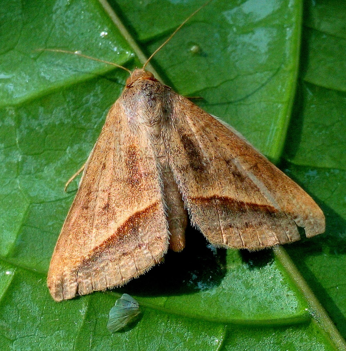 The Sugarcane Looper Moth