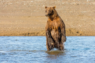 Photo: The bear missed the salmon but I got the shot