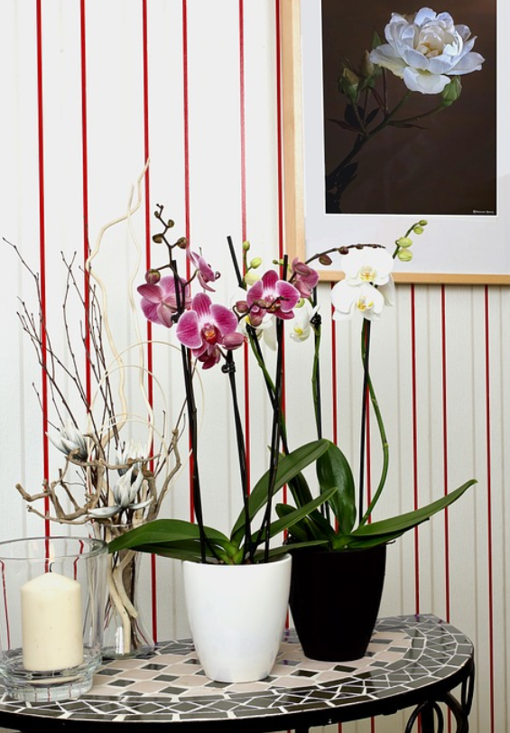 Orchids belong to the largest family of plant, the Orchidaceous. There are actually more than 25,000 types of Orchids in the world in the wild forest alone. Hundreds of hybrid species are also available for indoor and outdoor planting and care.