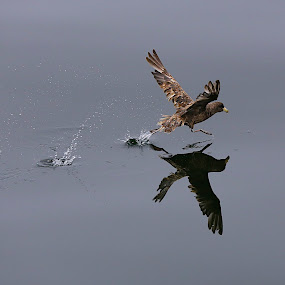 Run Run! by Capt Jack - Animals Birds ( #flight #fly #run #flap #takeoff, Bird in flight, bif, reflection, reflections, mirror )
