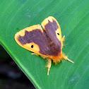 Orange-lined Tussock Moth