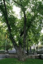 Photo: Arce sacarino (Acer saccharum)