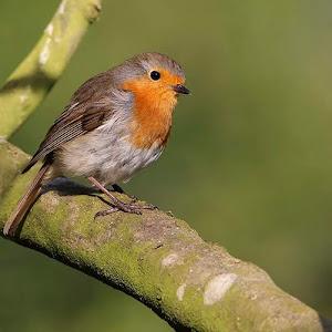 Robin (11).jpg