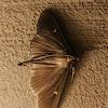 Box tree moth (dark form)