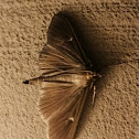 Box tree moth (dark form)