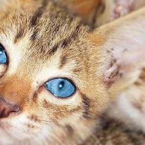 by Made Weli Rtanaya (EBENK) - Animals - Cats Portraits