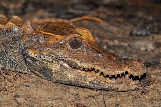 Photo: forest dwarf crocodile