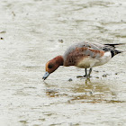 Anas penelope 赤頸鴨