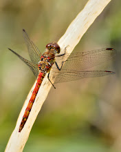 Photo: Male Common Darter?