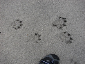 Photo: Cat prints at Cape Fox.