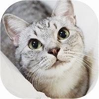 サバトラ猫紹介画像
