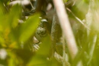 Photo: Green Kingfisher (Grünfischer); Bacalar, QROO