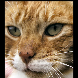 ginge by Sue Rickhuss - Animals - Cats Portraits (  )