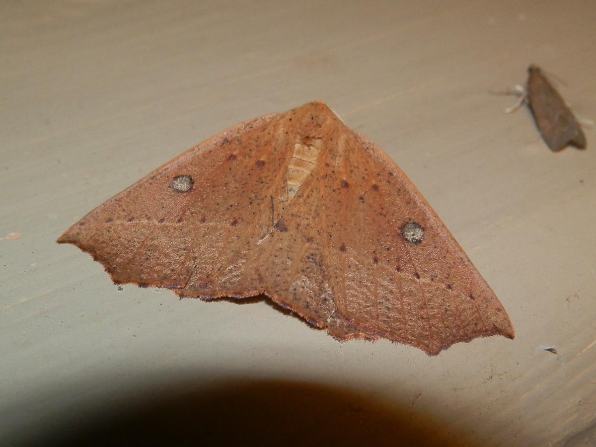 Acute Point Moth