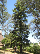 Photo: Another lovely redwood, near St. Stephen's Church