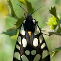 Epicallia villica
