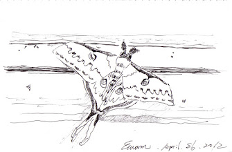 Photo: 不速之客2012.04.26鋼筆 一隻巴掌大的黄尾大蠶蛾一動也不動地停在窗上,看到的人都為之驚豔,「有人要回家了!」一位收容人這麼解讀。嗯~希望大家心想事成!
