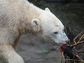 Photo: Knut begutachtet den Stamm der Tanne ;-)