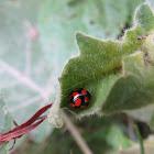 Cardinal Ladybird Beetle