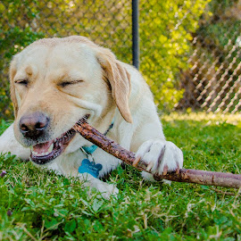 Nom Nom by Meaghan Browning - Animals - Dogs Playing ( labrador retriever, stick, park, grass, chewing )