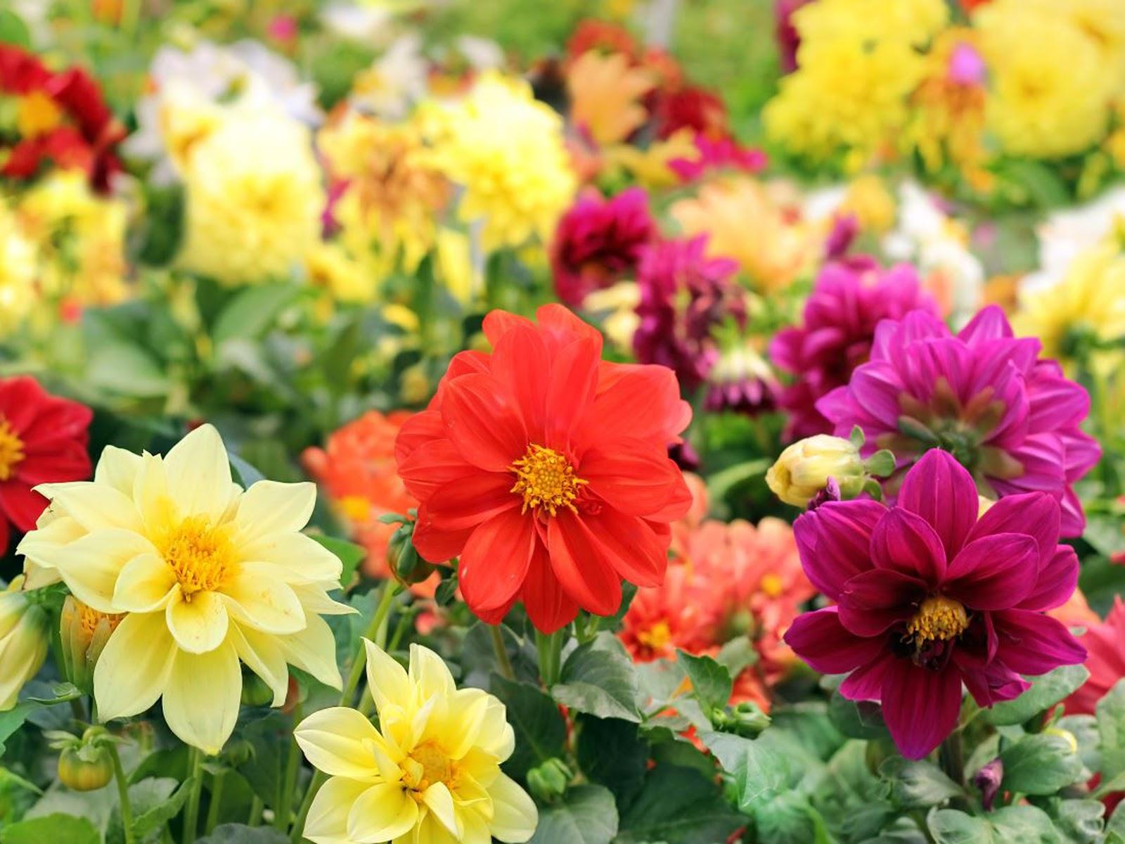 Георгина – выращивание из семян