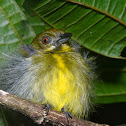 Gray-headed Canary Flycatcher