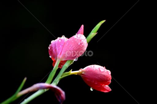 Pink flower against black background single flower flowers pixoto pink flower against black background by bryan wenham baker flowers single flower pink mightylinksfo