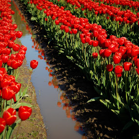 Red Rows by Jason Weigner - Nature Up Close Gardens & Produce ( water, field, pwcflowergarden, red, skagit, tulip, festival, flower, , Spring, springtime, outdoors, green )