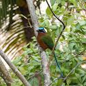 Tobago Motmot