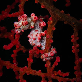 Camouflage Of Little Pygmy Sea Horse by Kusbian Indradi - Animals Sea Creatures