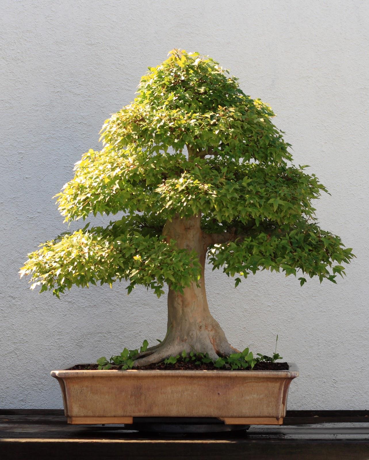 Trident_Maple_bonsai_202,_October_10,_2008.jpg
