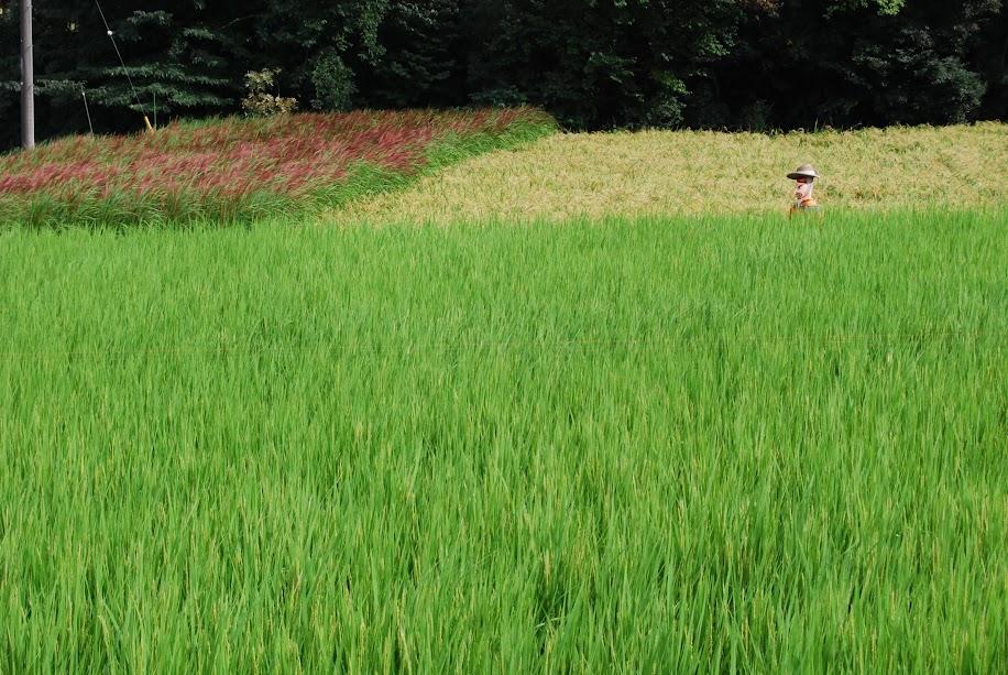 3色の田んぼ 赤(カンニホ)、黄(ササニシキ)、緑(豊里)