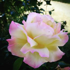 Rose by Oliver Bucek - Flowers Single Flower