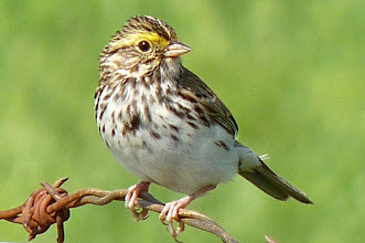 Photo: Savannah Sparrows can often be seen on the fences along the fields:  http://www.allaboutbirds.org/guide/savannah_sparrow/id