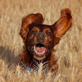 Happy Time by Ken Jarvis - Animals - Dogs Running ( irish setter, dog portrait, fun, irish, happy dog, dog )