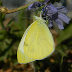False Small White butterfly